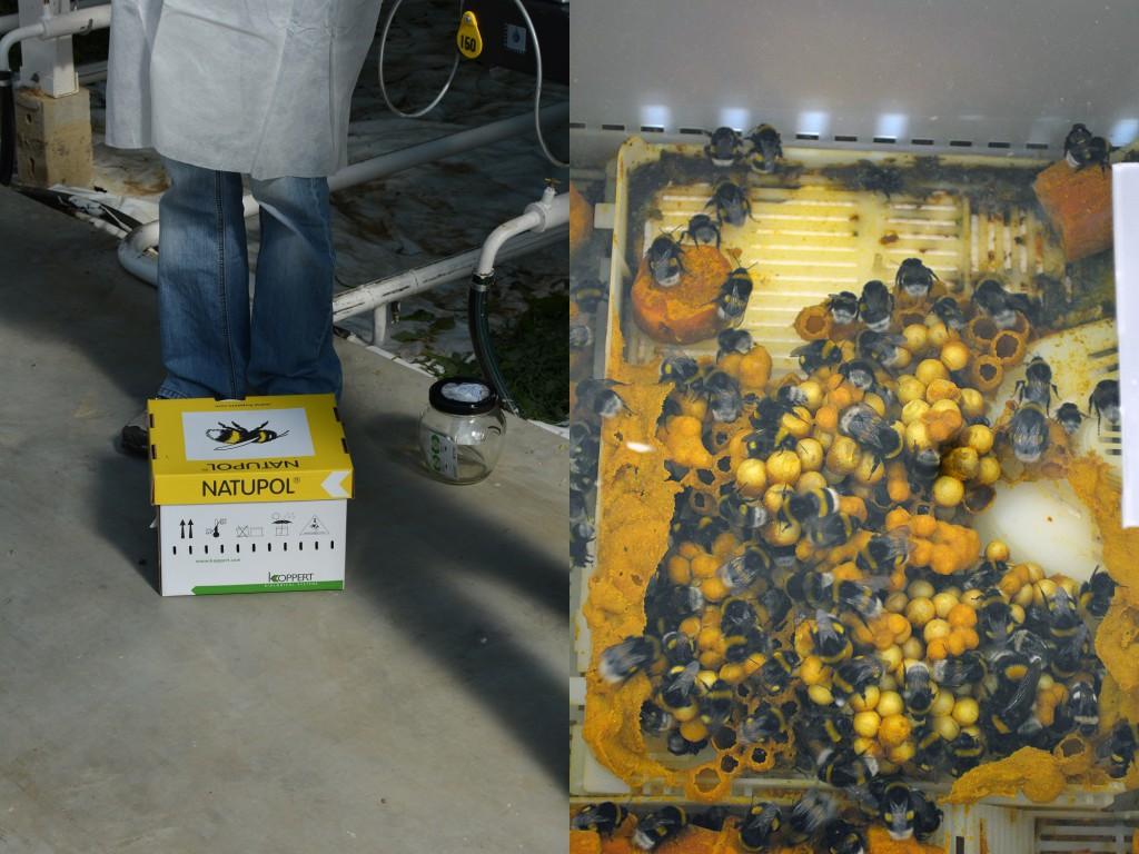 Hummeln zur Bestäubung der Tomatenpflanzen 3