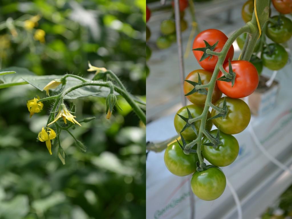 Tomatenblüte und Rispen